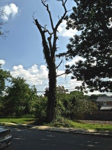 Dangerous Trees Of Springfield Pa SEPTA 1